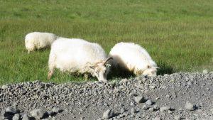 Des moutons au bord de la route.